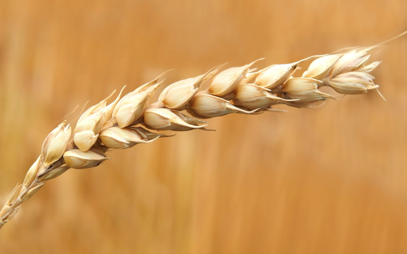 <p>Closeup photo of wheat grains</p>